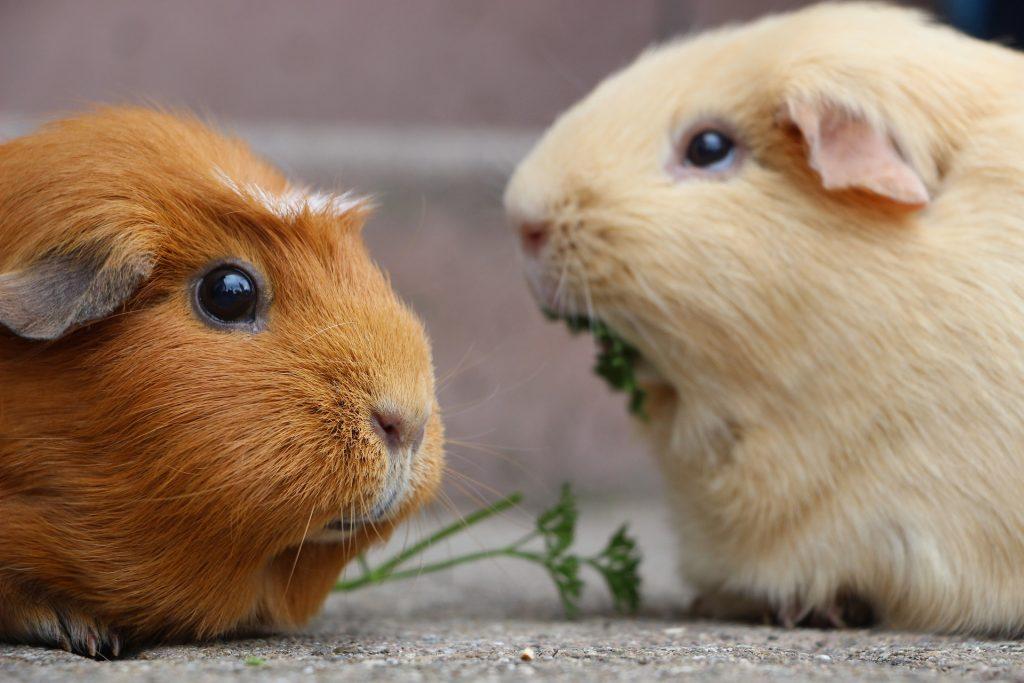 guinea pig care philadelphia PA
