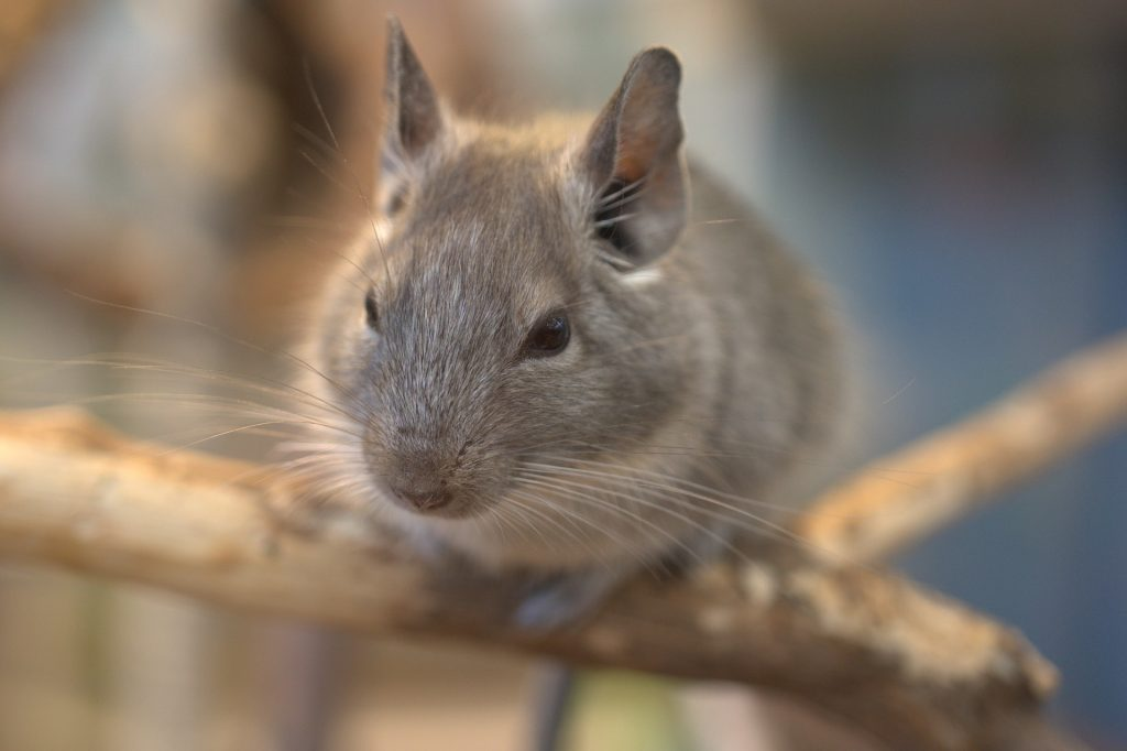 chinchilla care philadelphia PA
