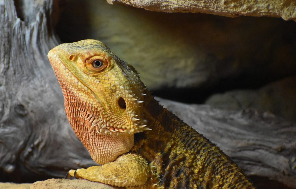 bearded dragon care philadelphia PA
