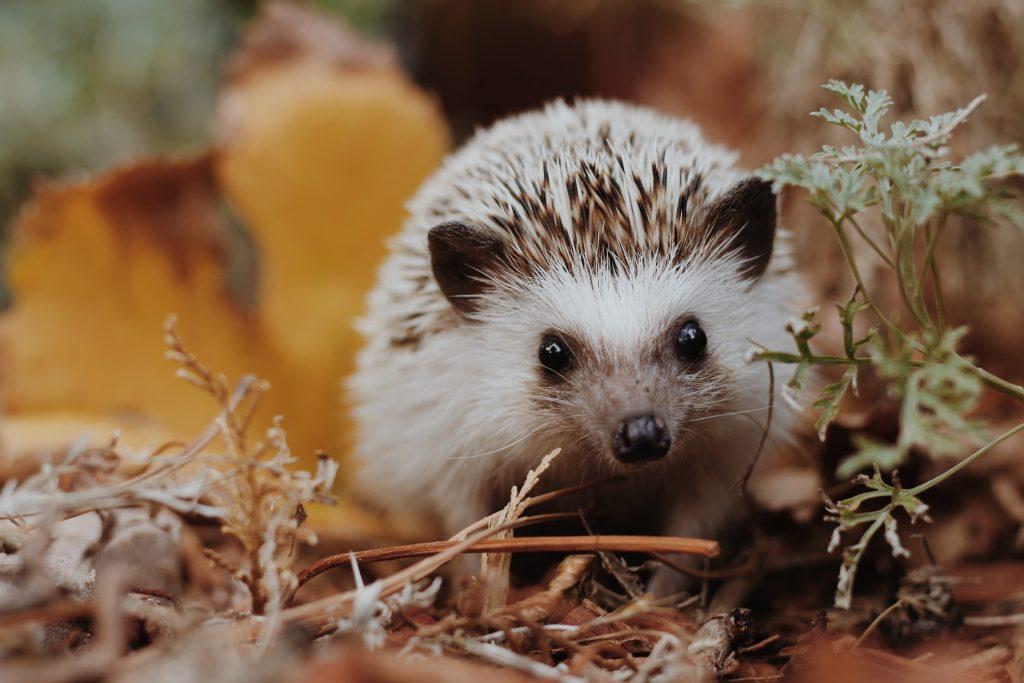 hedgehog care philadelphia PA